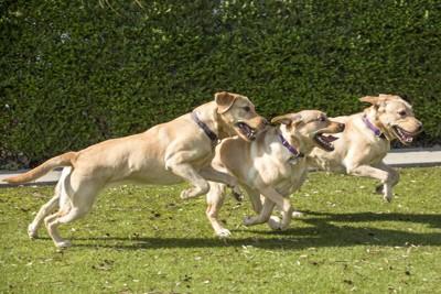 走る3匹のラブラドール