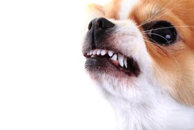 牙をむいて攻撃的なチワワの顔アップ