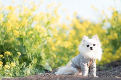 菜の花畑で座っている服を着たチワワ