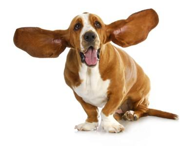 大きい耳の犬