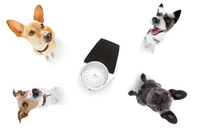 体重計をかこむ4頭の犬