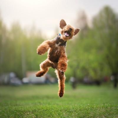 芝生の上でジャンプするウェルシュテリア