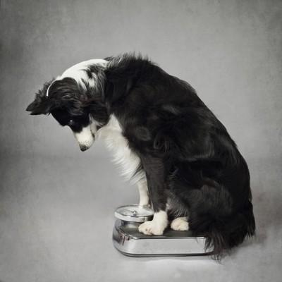 体重計を見る犬