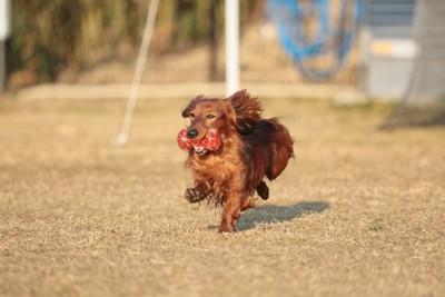 おもちゃをくわえて走る犬