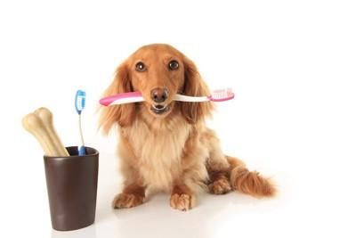 歯ブラシを咥えるダックス