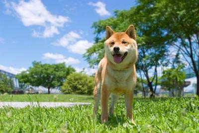 公園内の草の上で立ち尽くしている柴犬