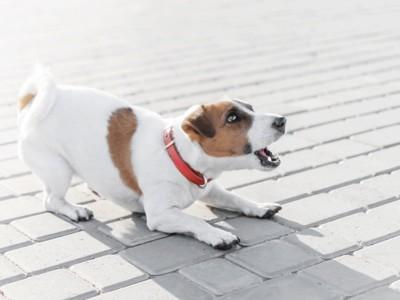 身を屈めて吠える犬