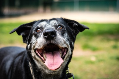 笑顔を見せるシニア犬