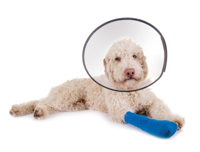 ギプスとエリカラをつけたカリーヘアの犬