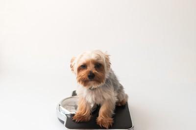 体重計に座るヨーキー