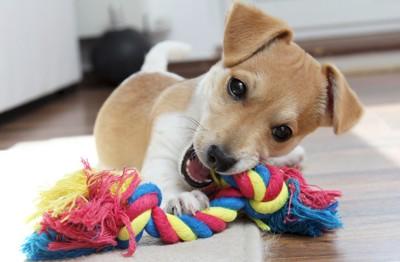 縄のオモチャで遊ぶ子犬