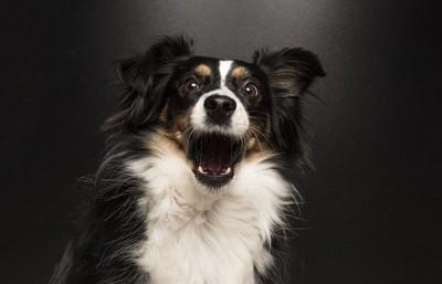 正面を向いてほえる犬