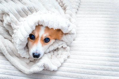 ブランケットに包まって寒そうにしている犬