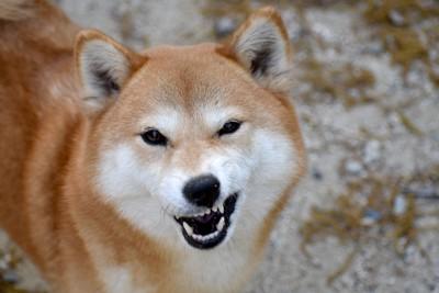 顔をゆがめる柴犬