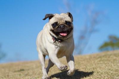 公園を走り回るパグ