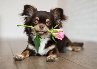 薔薇をくわえたチワワ