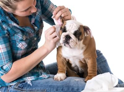 飼い主に耳掃除をしてもらうイングリッシュブルドッグ