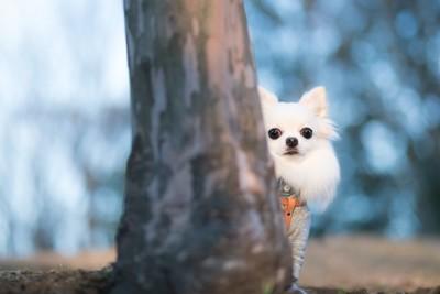 木の陰に隠れてこちらを見るチワワ
