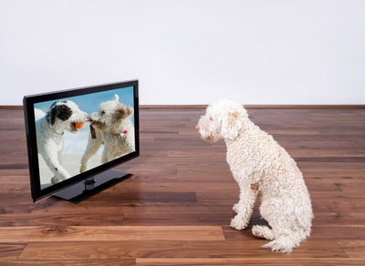 TVを見つめる犬