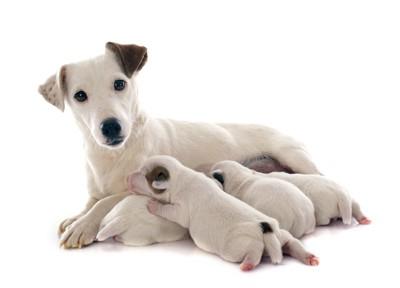 授乳中の母犬と子犬たち