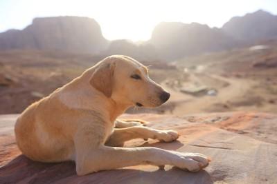ヨルダンの荒野でくつろぐ犬
