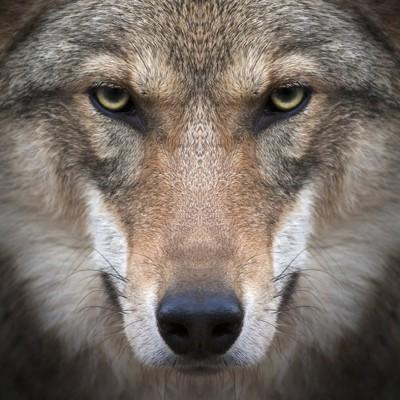 オオカミの正面顔アップ
