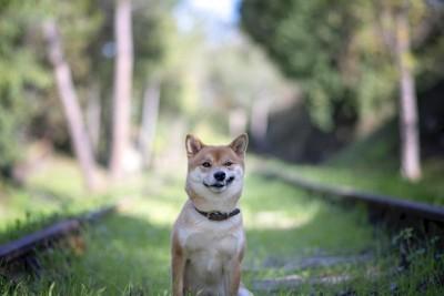にやりと笑う柴犬