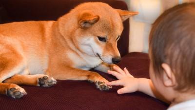 柴犬に触れようとする子ども