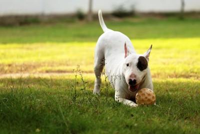 ボールを持ち遊びに誘う犬