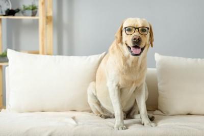ソファーに座るメガネをかけたラブラドール