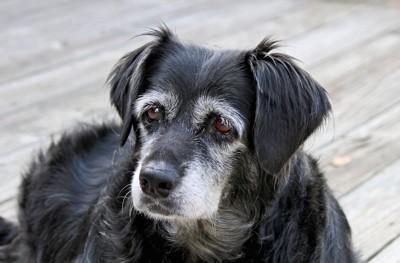 困った表情のシニア犬