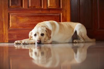 不安そうに横たわる犬