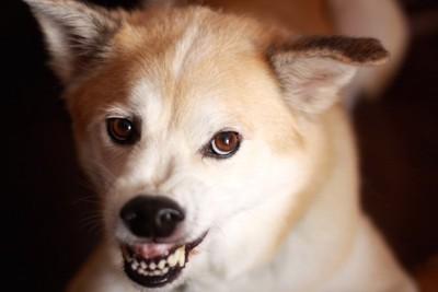 怖がって威嚇する犬の顔