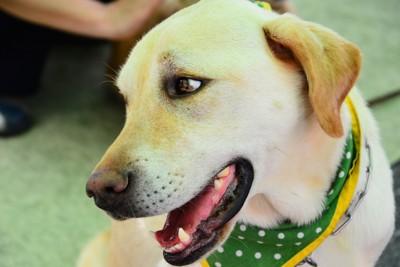 盲導犬ラブラドール