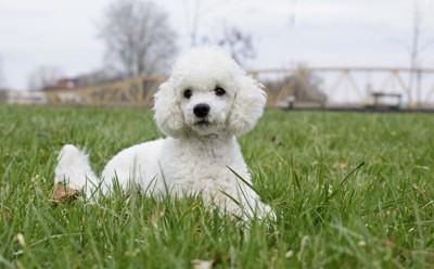 プードルの子犬