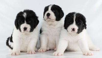 3匹のランドシーアの子犬