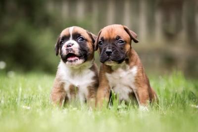 ボクサーの子犬二頭