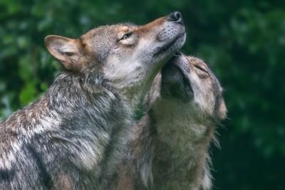 2頭のオオカミ