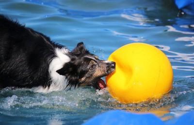 大きなボールと水遊びするボーダーコリー