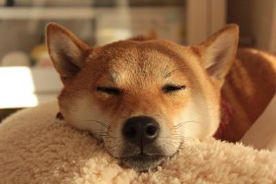 柴犬の寝顔