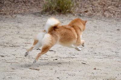脱走する柴犬