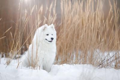 雪の中に座るサモエド犬