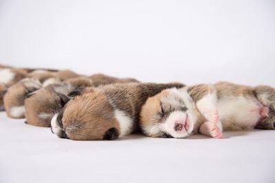 密になって眠るコーギーの幼犬