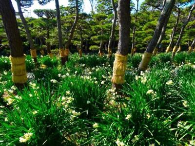 松の木の下に咲く水仙