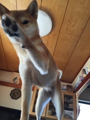 肉球を見せる柴犬
