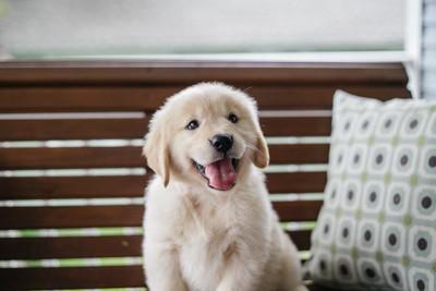 ゴールデン・レトリバー子犬