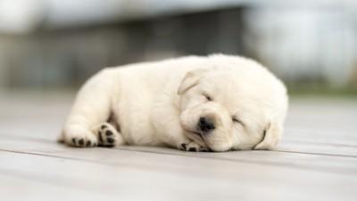 ぐっすりと眠る白い子犬