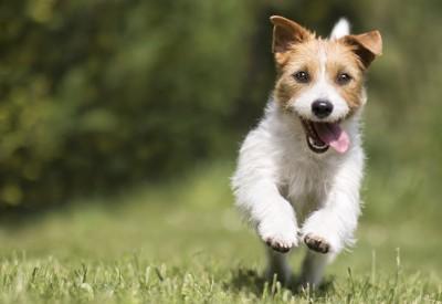 楽しそうに走る犬