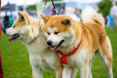 2頭でお散歩中の秋田犬