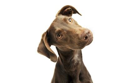 首をかしげる大きな垂れ耳の犬